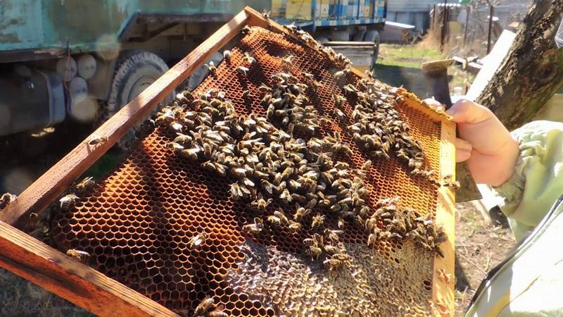 Осмотр пчелиной семьи
