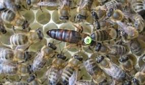 Способы метки пчелиных маток