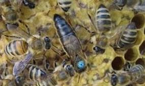 Как заменить матку в пчелосемье