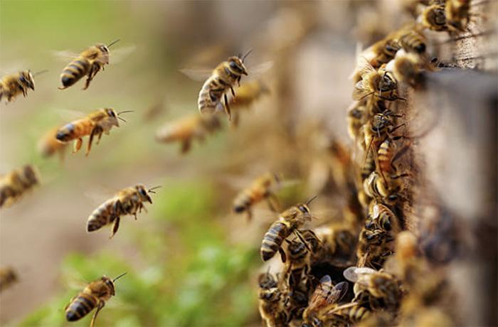 Пчелы во время медосбора