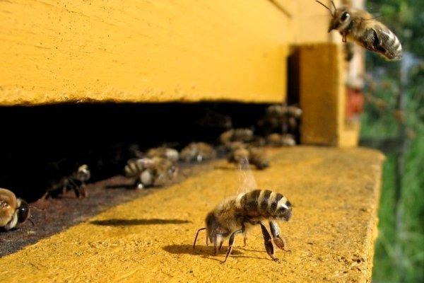 Пчела-воровка у улья