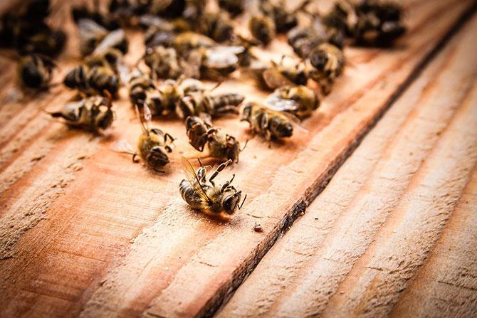 Мертвые пчелы