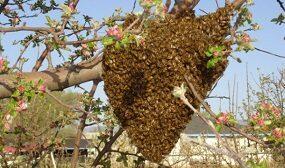 Как снять рой пчел с дерева