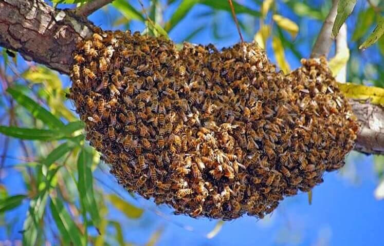 Рой пчел на ветке