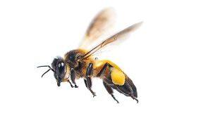 на какое расстояние летают пчелы