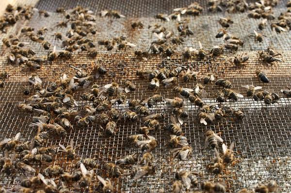 Погибшие от нозематоза пчелы