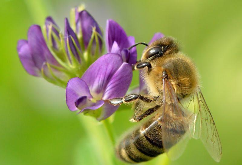 Пчела собирает нектар с люцерны