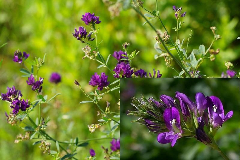 Люцерна фиолетовая