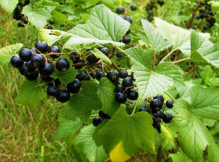Листья смородины также лечебные