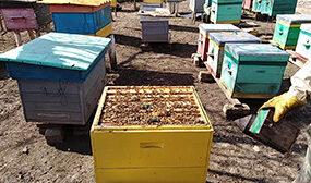 Объединение пчелиных семей