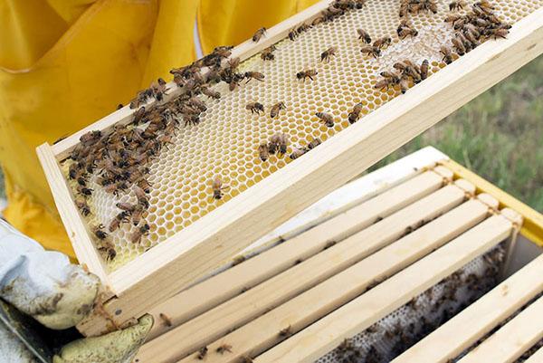 Пчеловод вынул рамку