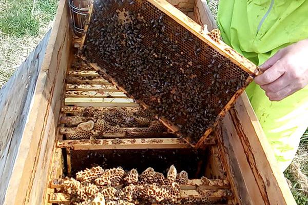 Рамка с пчелами