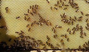 Почему пчелы не тянут вощину