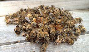 как хранить пчелиный подмор в домашних условиях