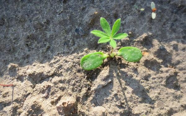 Выращивание люпина