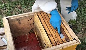 Обработка пчел от клеща летом