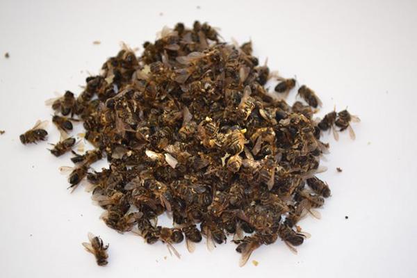 Тела мертвых пчел