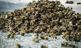 Пчелиный подмор для суставов