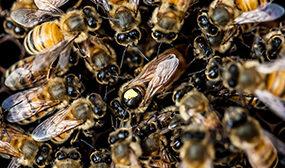 Порода пчел бакфаст их недостаток