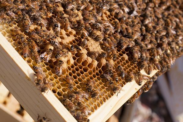 Рамка с пчелами и прополисом
