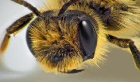 Какие цвета различают пчелы