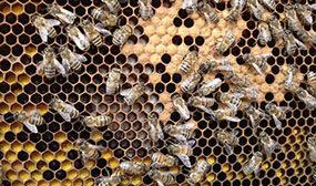 Горбатый расплод у пчел