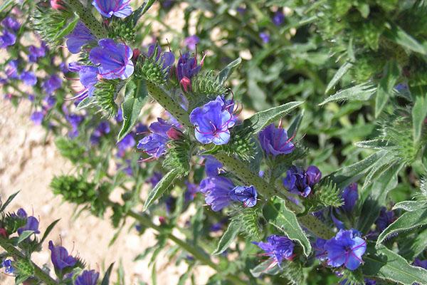Цветки синяка