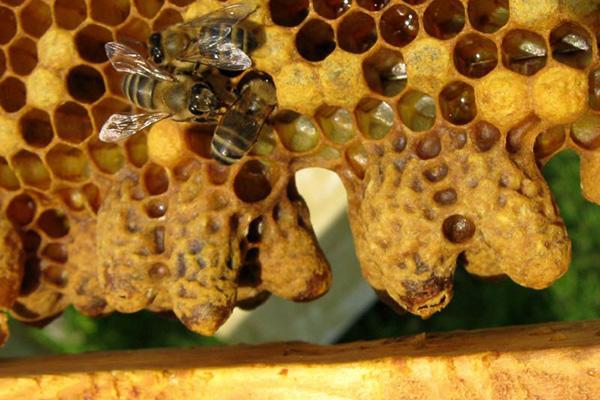 Признаки роения пчел