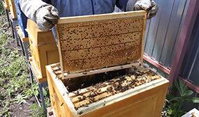 Как вывести пчел из роевого состояния