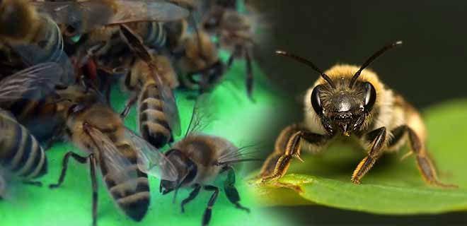 Пчела карпатская