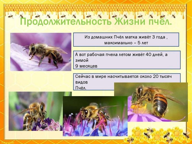 Продолжительность пчелиной жизни