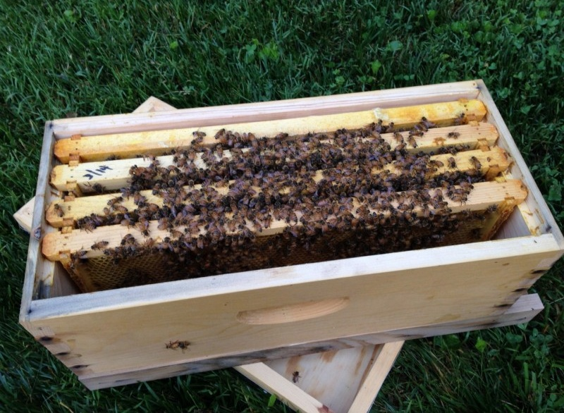 Пчелопакеты для роя пчел