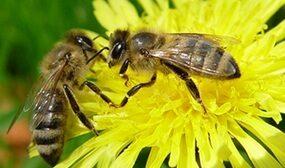 Как размножаются пчелы