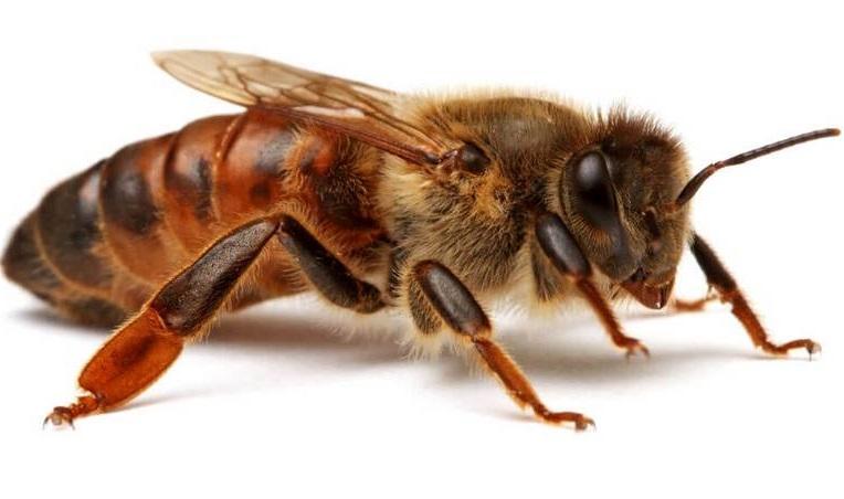 Внешний вид пчелы