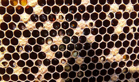 Мешотчатый расплод пчел