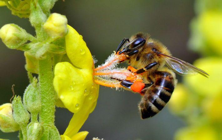 яд пчелы