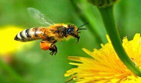 укус пчелы польза или вред