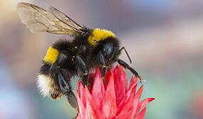 Чем отличается пчела от шмеля?
