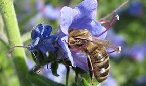 Пчела и лён