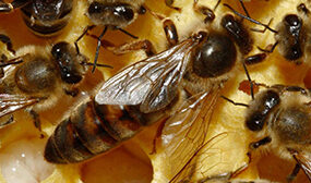 Как вывести матку пчелы?