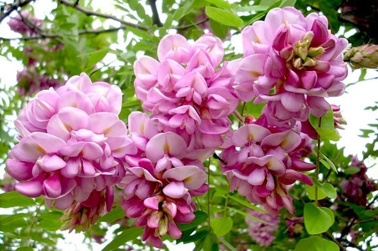 Розовый вид