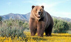 Как отпугнуть медведя от пасеки?