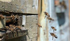 Почему пчелы осенью покидают улей?